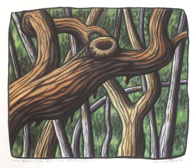 Iron bark with bole and bush Cassilus